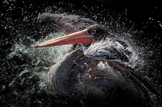 Pelican In Water Alu Art